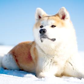 [画像]秋田犬