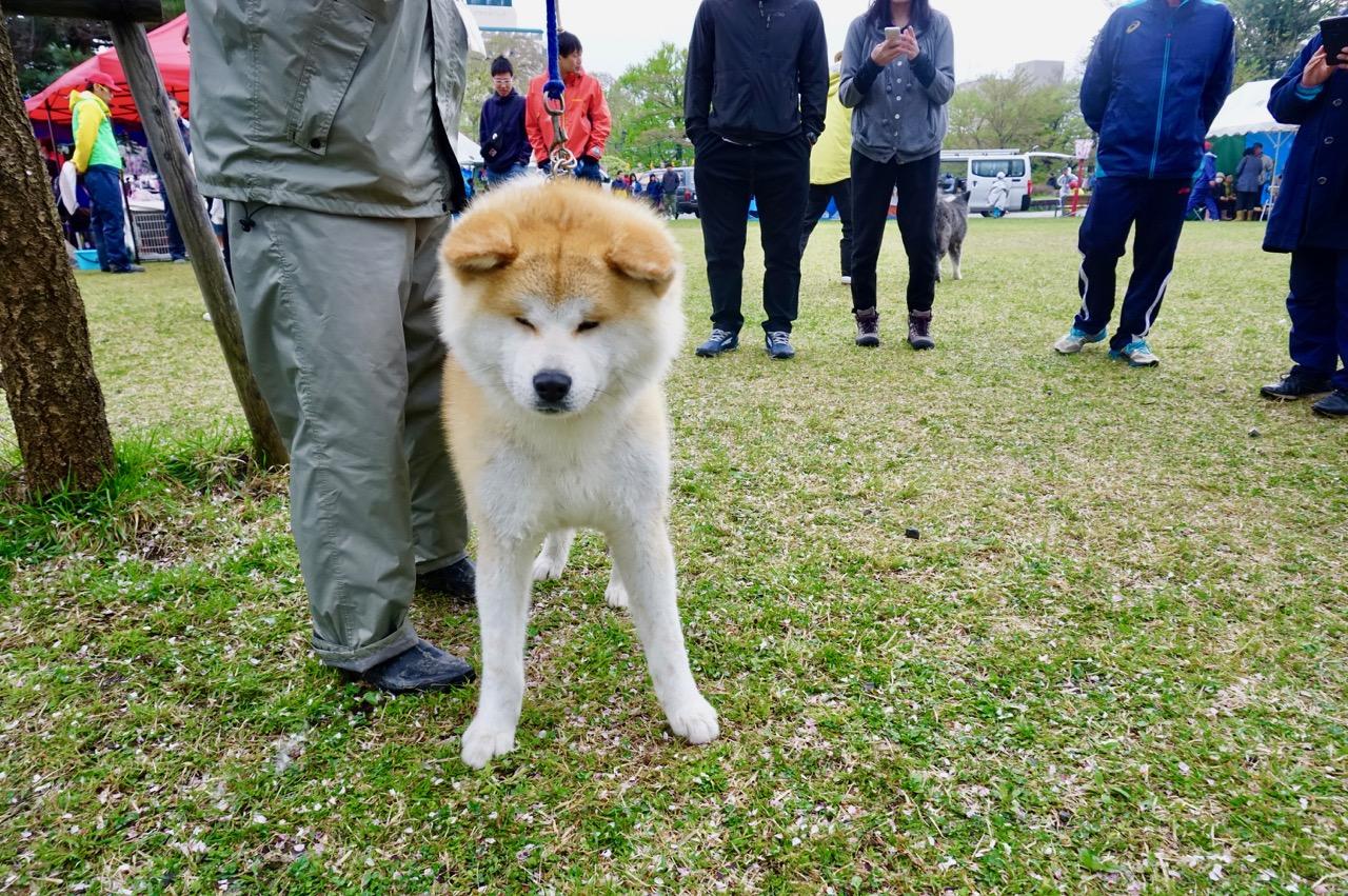 秋田犬保存会本部展で出会った秋田犬 その2〜桂城公園お散歩編〜