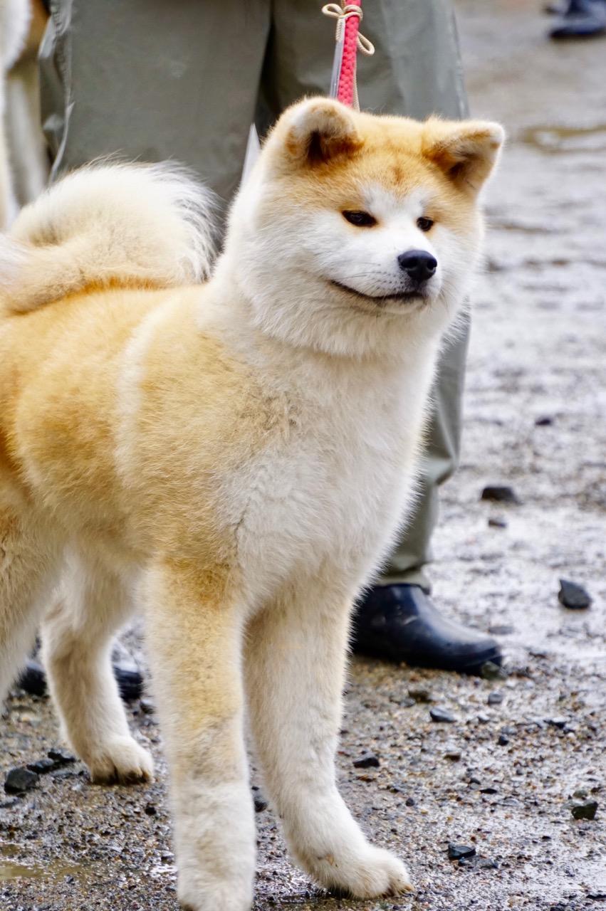 秋田犬保存会本部展で出会った秋田犬 その1〜本部展編〜