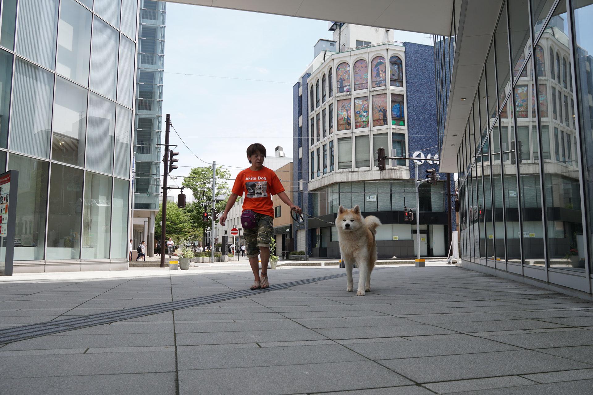 秋田犬ステーション&保護犬「疾風(はやて)」近況