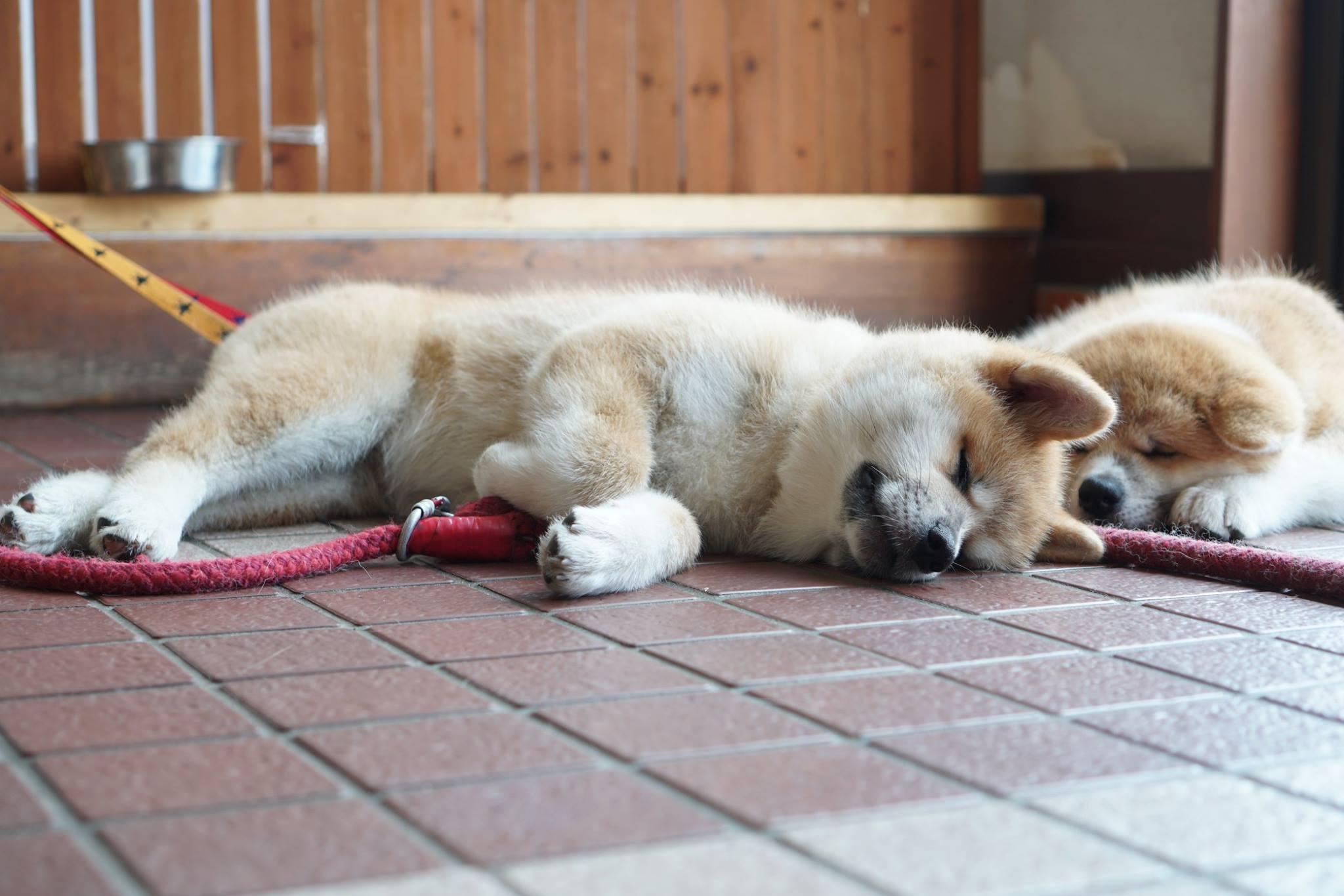 秋田犬に会いに行く◆ふるさわおんせん光葉館