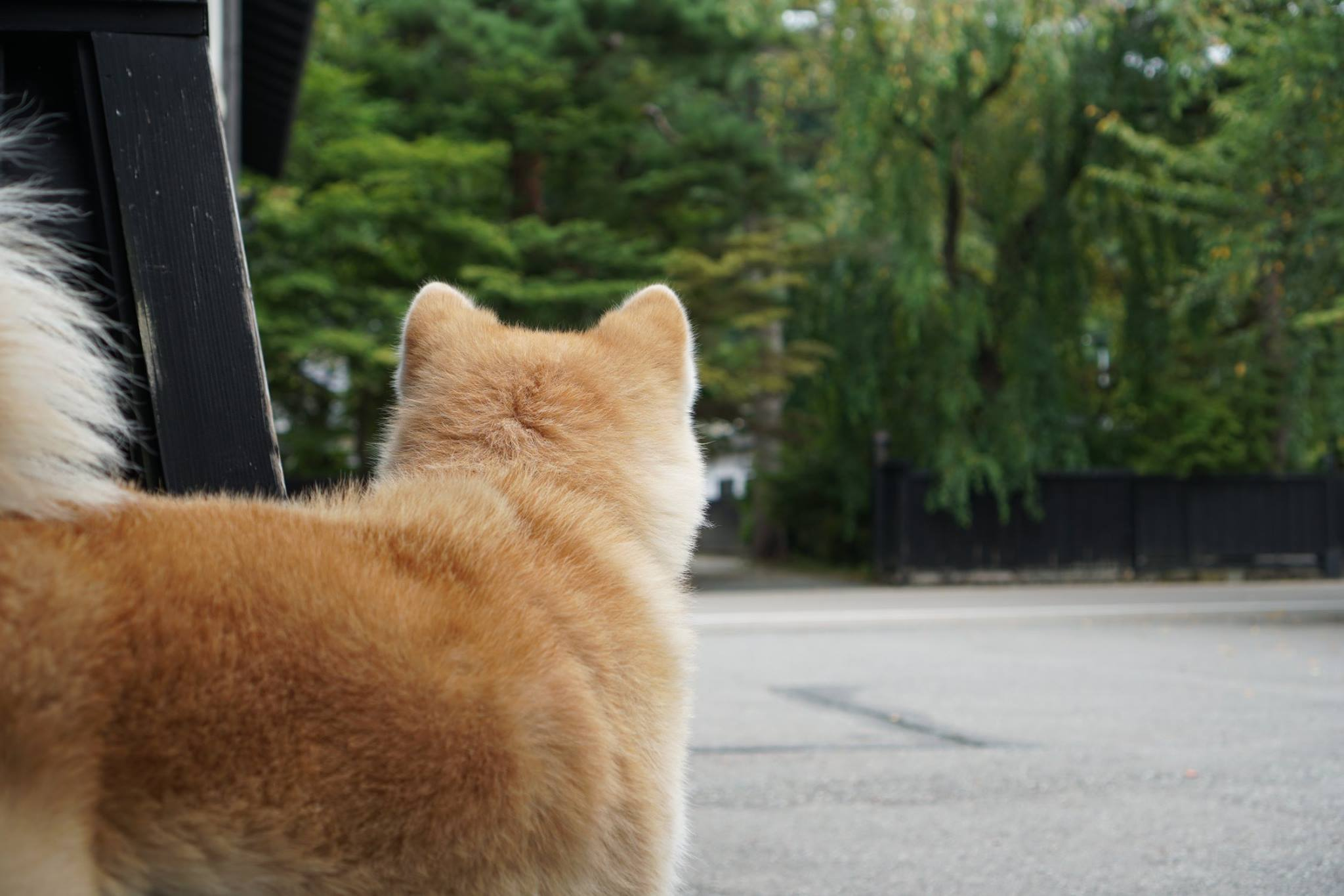 秋田犬に会いに行く◆角館さとくガーデン