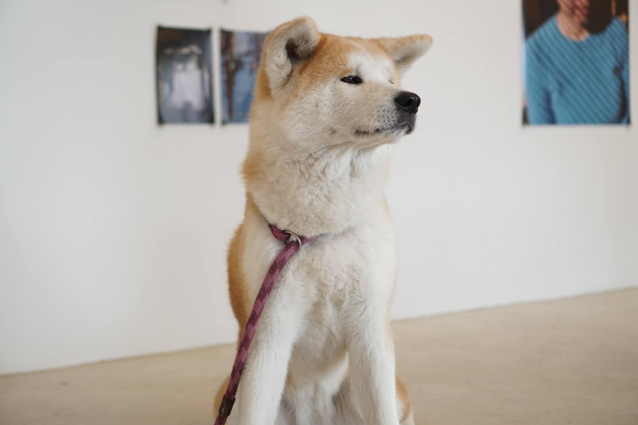秋田犬に会いに行く◆ゼロダテアートセンター