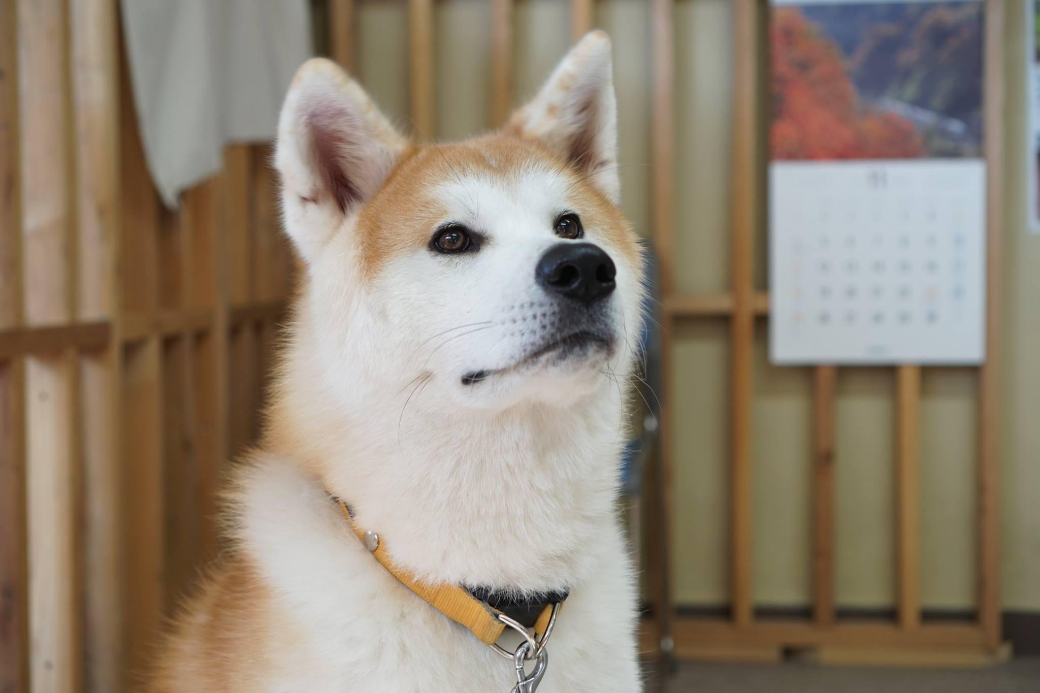 秋田犬に会いに行く◆秋田犬ふれあい処 Part2