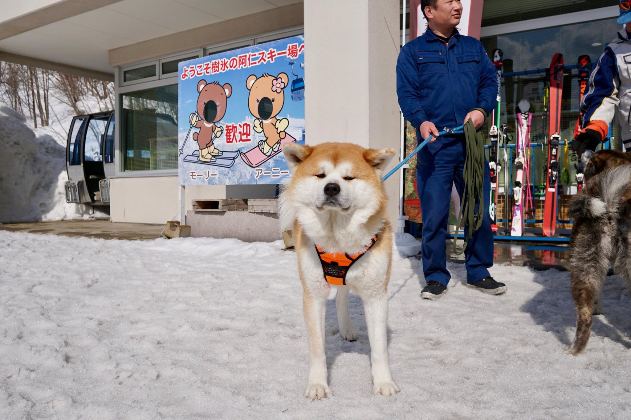 秋田犬に会いに行く◆森吉山阿仁スキー場