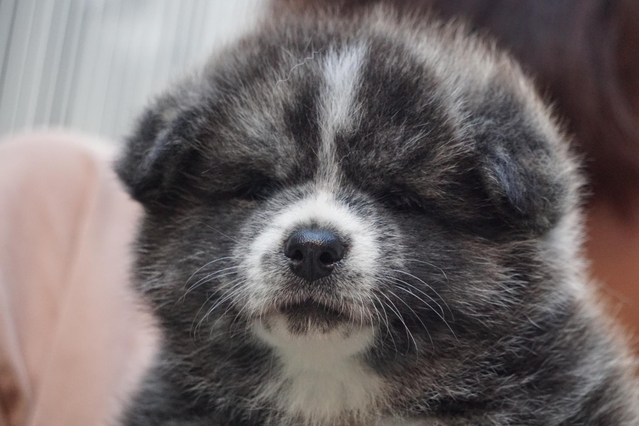 大館市が「秋田犬の名前」を募集!