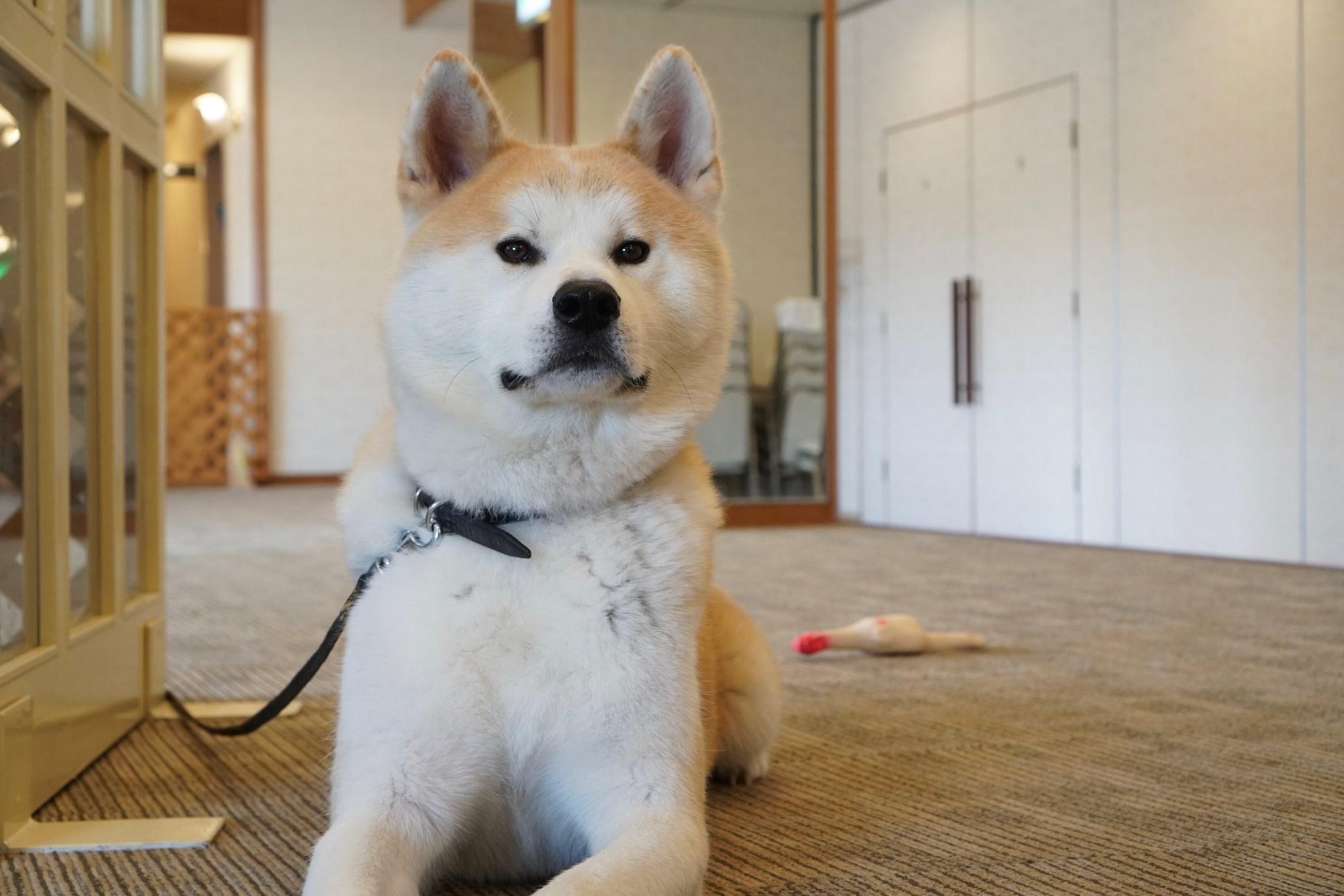 秋田犬に会いに行く◆ロイヤルホテル大館
