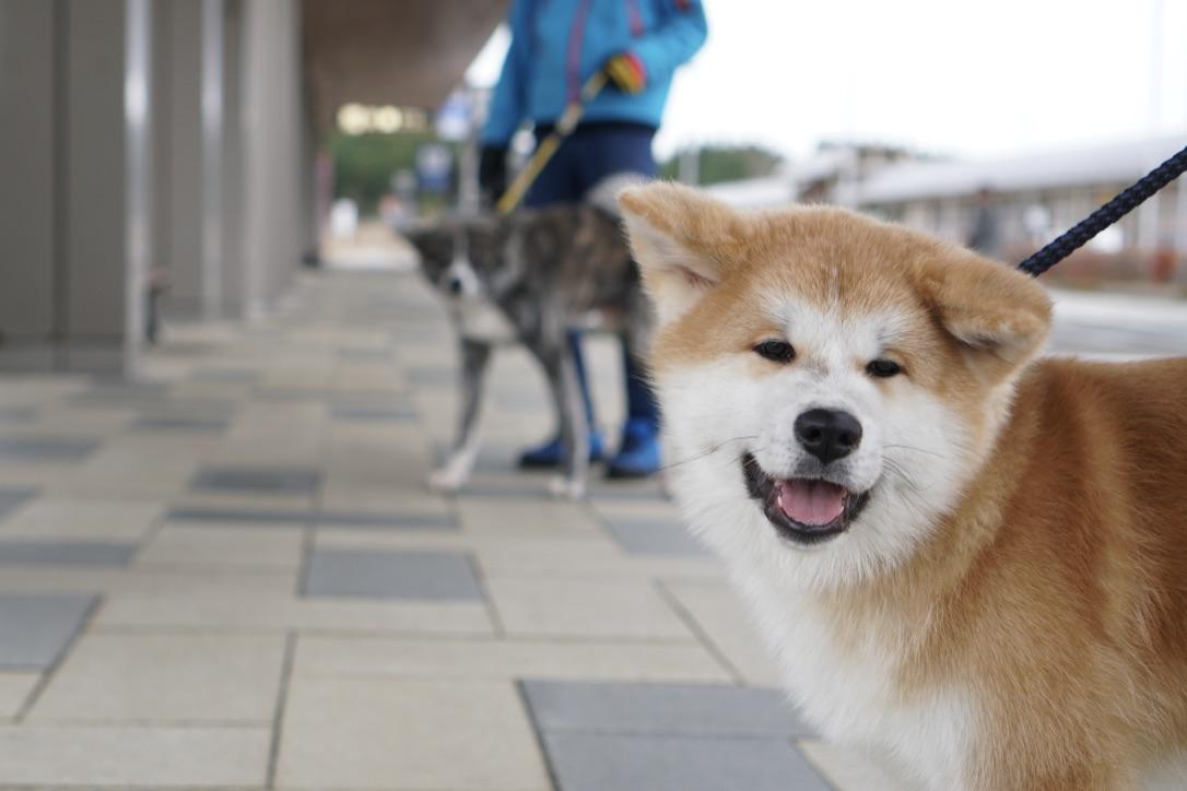 秋田犬に会いに行く◆大館能代空港