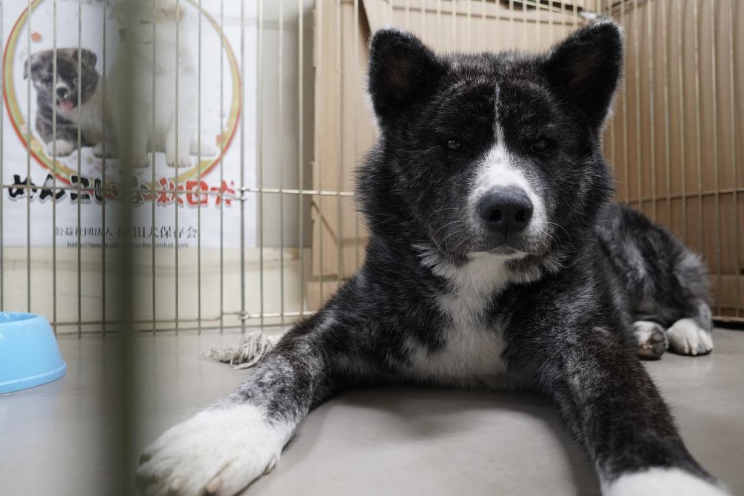 秋田犬に会いに行く◆秋田犬会館2