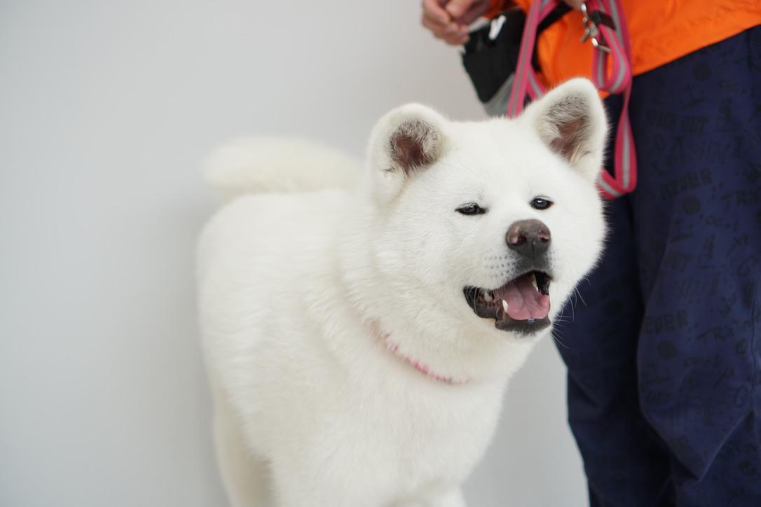 秋田犬に会いに行く◆秋田犬の里・秋田犬展示室(1)