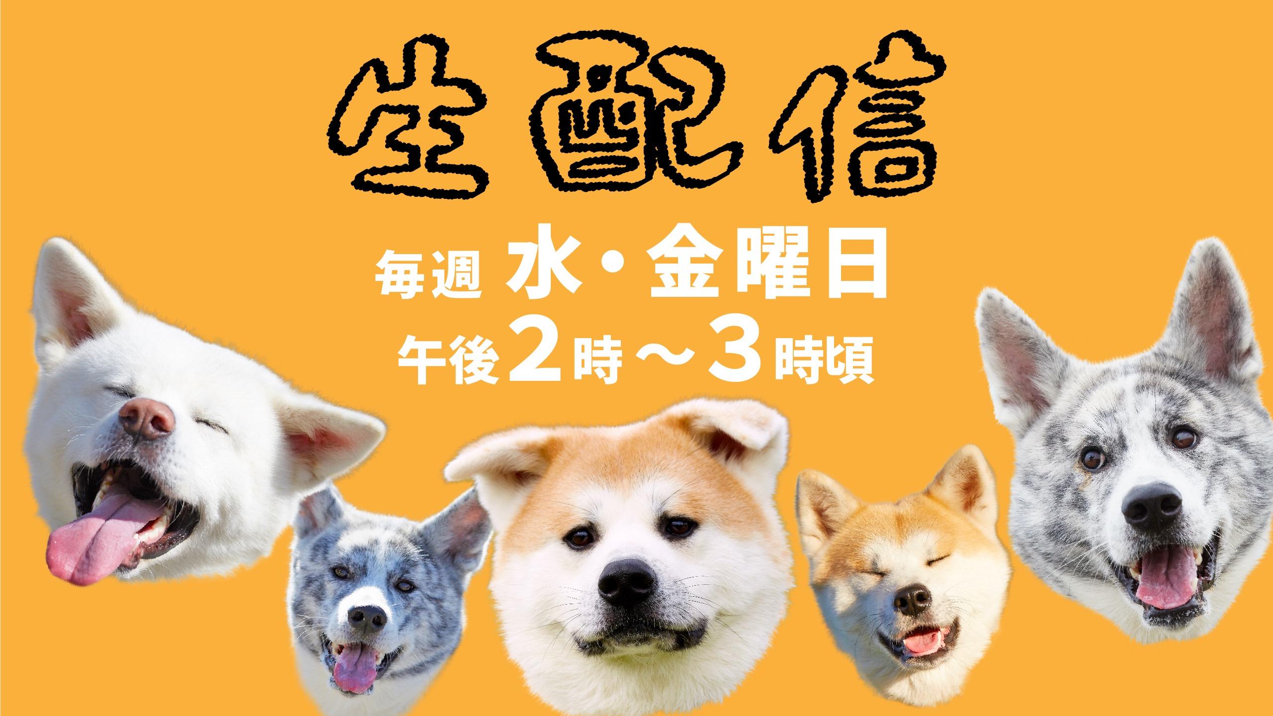 秋田犬が遊んでいる様子の生配信、始めます!