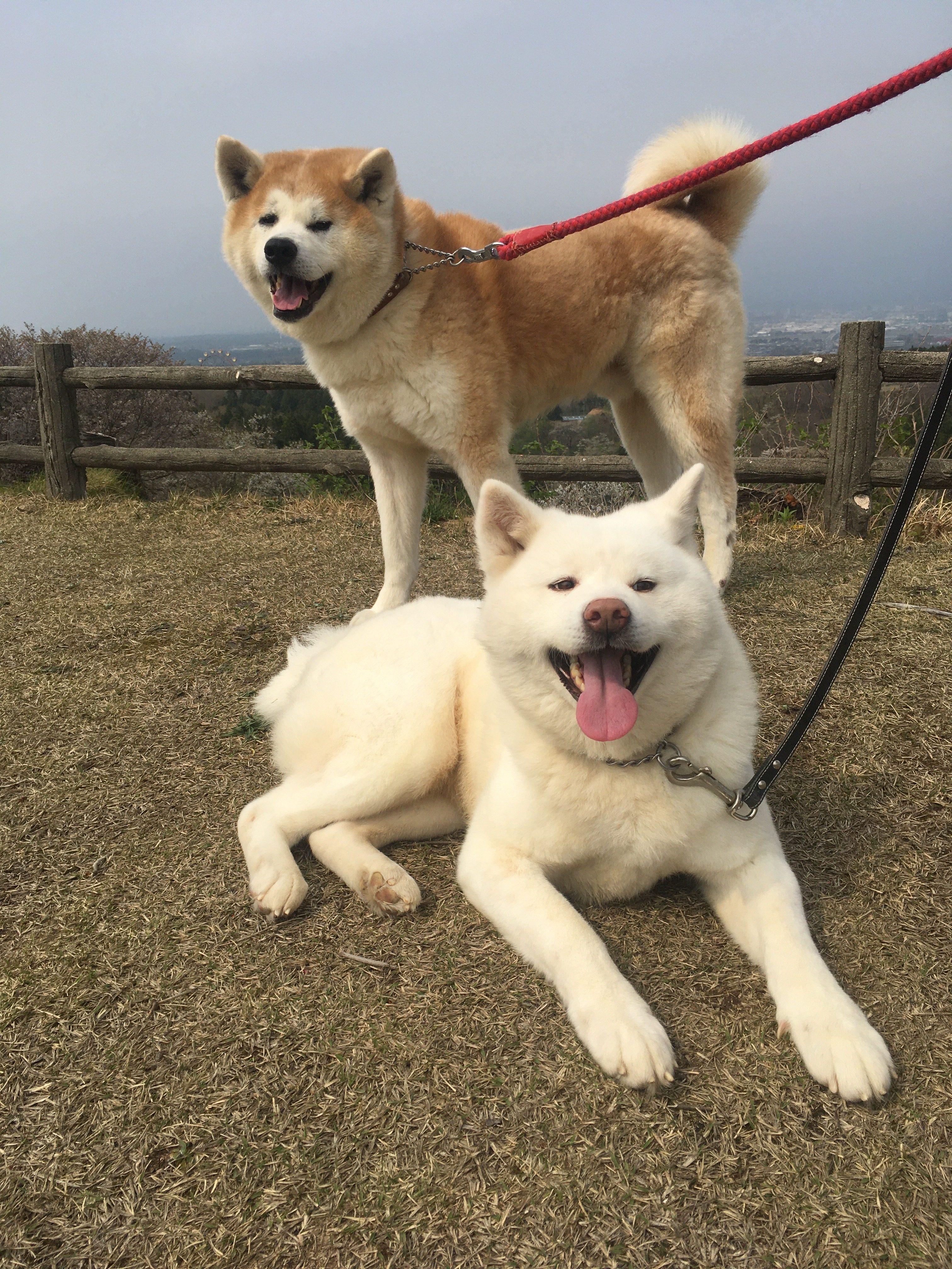 秋田犬の里親さんを引き続き募集中です!